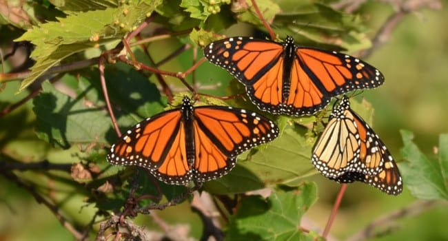 Monarch butterflies here today, gone tomorrow