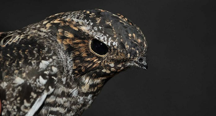 bird hawk nighthawk wildlife